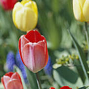 Close View Of Spring Tulips In Bloom Poster