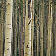 Close View Of Tree Trunks In A Stand Poster