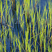 Close View Of Water Grasses Growing Poster