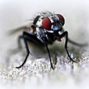 Closeup Of A Fly  Poster by Maureen  McDonald