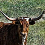 Closeup Of Texas Longhorn Poster