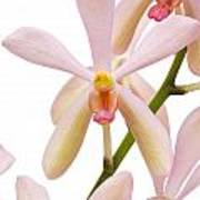 Closeup Pink Orchid Poster