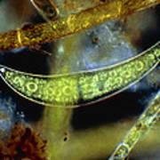 Closterium, A Desmid Alga Poster by John Walsh