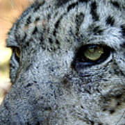 Clouded Leopard Face Poster