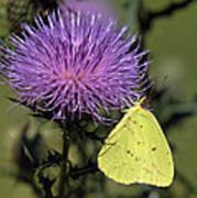 Cloudless Sulphur Butterfly Din159 Poster