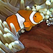 Clown Anemonefish In Anemone, Great Poster