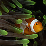 Clownfish In Green Anemone, Indonesia Poster