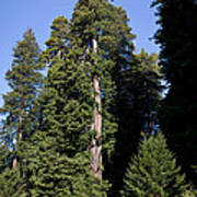 Coast Redwood Poster
