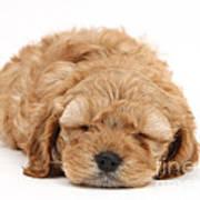 Cockapoo Pup Poster