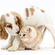 Cocker Spaniel And Kitten Poster