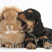 Cockerpoo Pup And Lionhead-lop Rabbit Poster