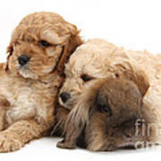 Cockerpoo Puppies And Rabbit Poster