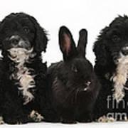 Cockerpoo Pups And Rabbit Poster