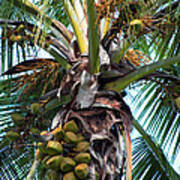 Coconut Palm Inflorescence Poster by Karon Melillo DeVega