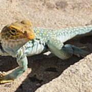 Collard Lizard Poster