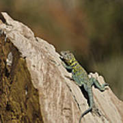 Collared Lizard Poster