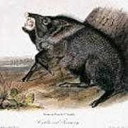 Collared Peccary, 1846 Poster