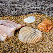 Collection Of Shells Poster