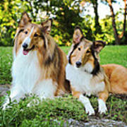 Collie Sisters Poster