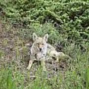 Colorado Coyote Poster