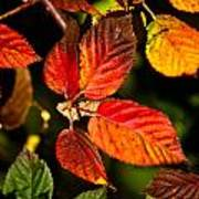 Colorful Blackberry Leaves 1 Poster