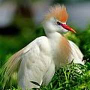 Colorful Cattle Egret Poster