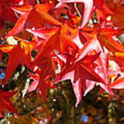 Colorful Fall Tree Red Leaves Art Prints Poster