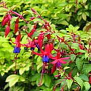 Colorful Fuchsia Poster
