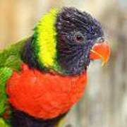 Colorful Lorikeet Parrot Poster