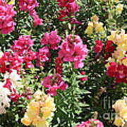 Colorful Snapdragons In San Antonio Poster