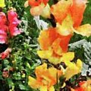 Colorful Snapdragons Poster