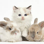Colorpoint Kitten With Baby Rabbits Poster