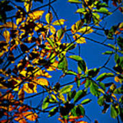 Colors Of The Autumn Elm Poster