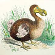Coloured Engraving Of A Dodo Poster