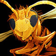 Coloured Sem Of A Wasp (vespa Sp.) In Flight Poster