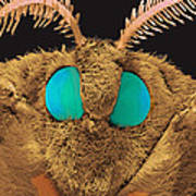 Coloured Sem Of The Head Of A Silk Moth, Bombyx Sp Poster