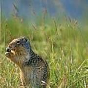 Columbia Ground Squirrel Feeding Poster