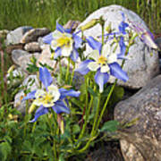 Columbine Colorado State Flower Poster