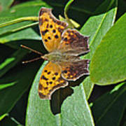 Comma Anglewing Butterfly - Polygonia C-album Poster