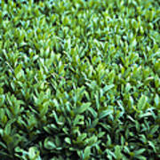 Common Box (buxus Sempervirens) Poster