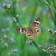Common Buckeye Poster by Kathy Gibbons