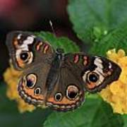 Common Buckeye Poster