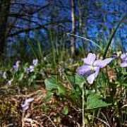 Common Dog-violet Poster