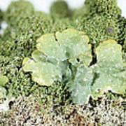 Common Greenshield Lichen Poster