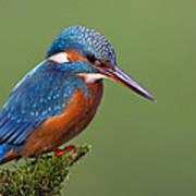 Common Kingfisher Alcedo Atthis Poster