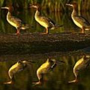 Common Mergansers On Rock Reflecting Poster
