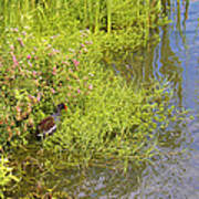 Common Moorhen At The Waters Edge Poster