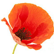Common Poppy Flower Poster