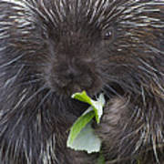 Common Porcupine Erethizon Dorsatum Poster