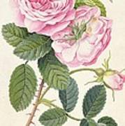 Common Provence Rose Poster by Georg Dionysius Ehret
